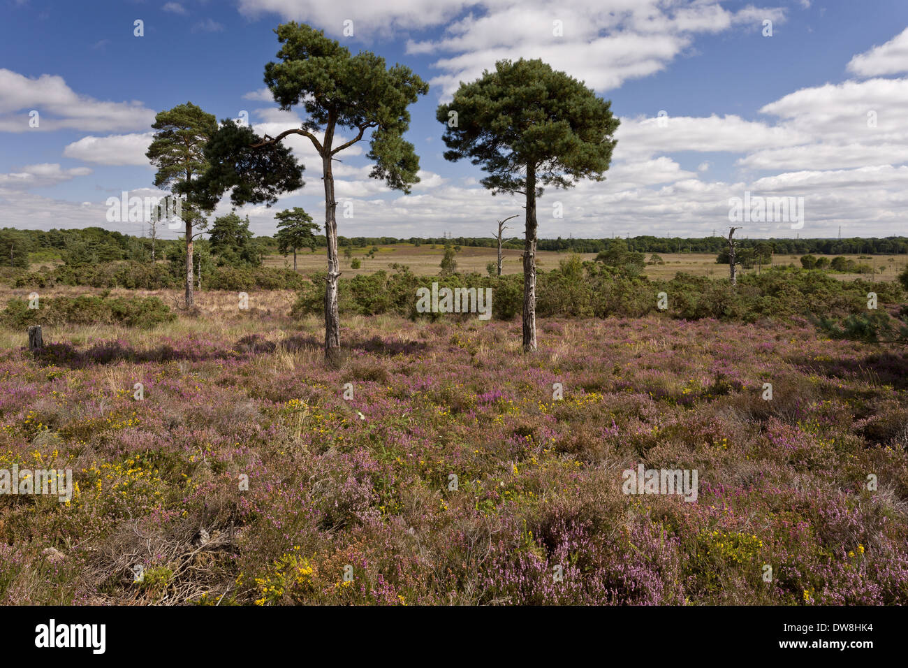View of heathland habitat with Bell Heather (Erica cinerea) and Dwarf Gorse (Ulex minor) in flower with Scots Pine (Pinus - Stock Image