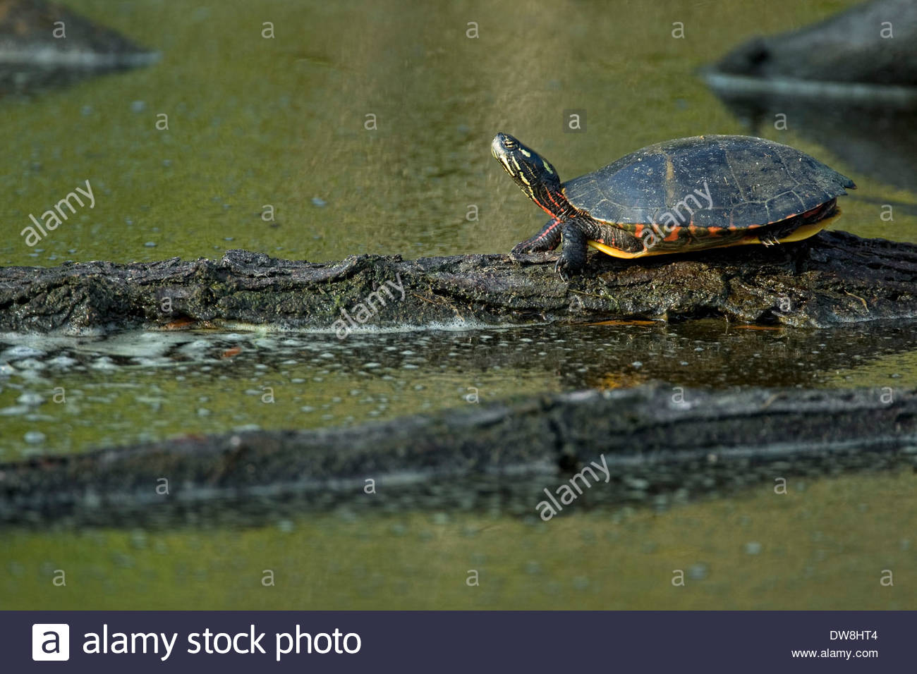 Painted turtle (Chrysemys picta) resting on log in swamp, North America - Stock Image