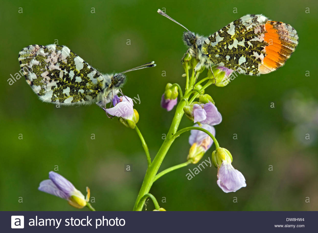 Orange Tip (Anthocharis cardamines) male and female pair perched on Cuckoo Flower (Cardamine pratensis) Stock Photo