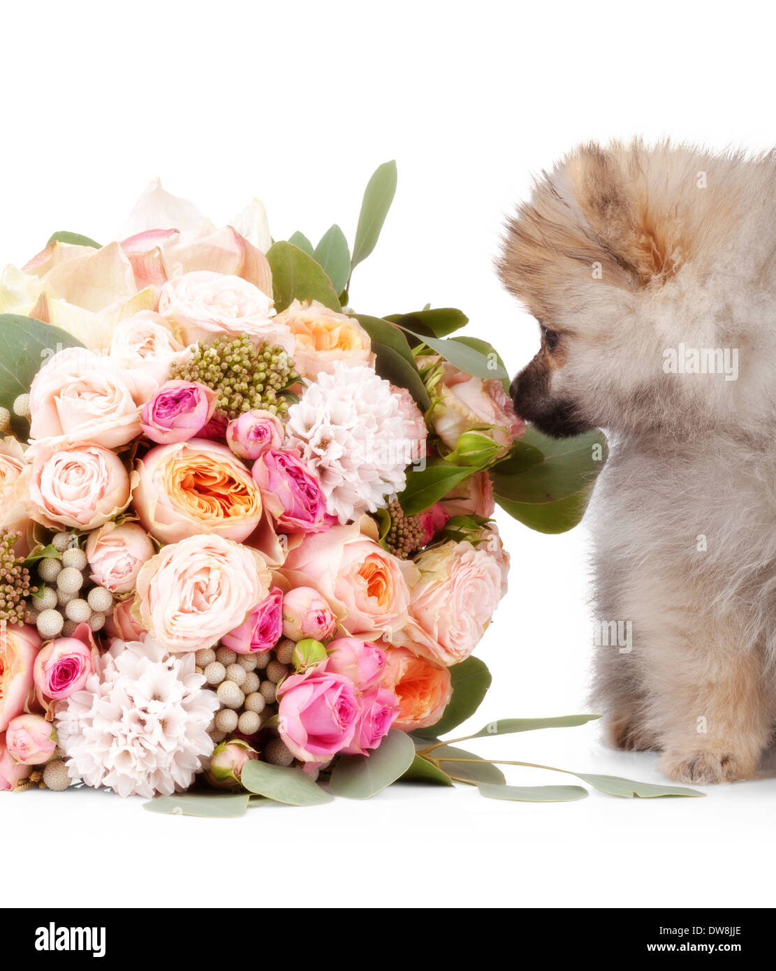 Pomeranian puppy with bouquet of flowers isolated on white ...