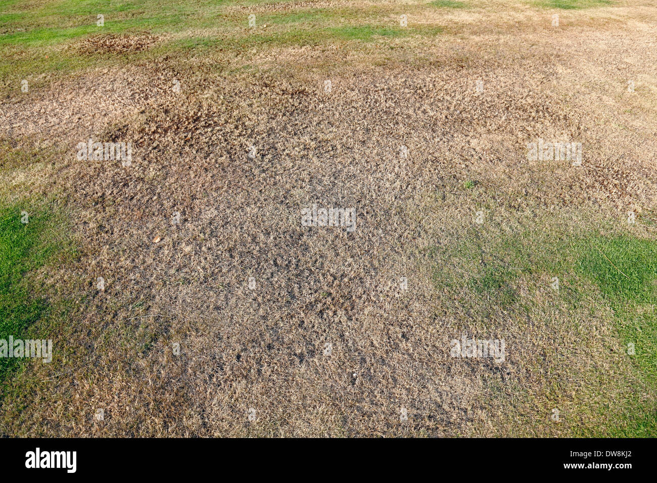 A patch of dry, brown, garden lawn, Scotland, UK - Stock Image