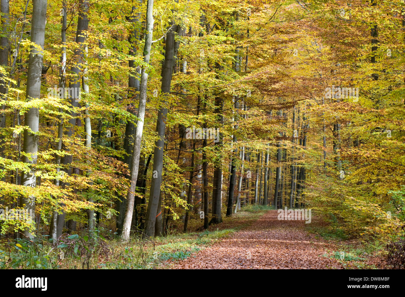 Beech forest - Stock Image