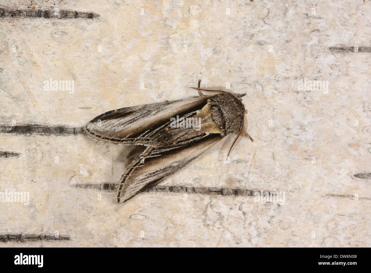 Swallow Prominent (Pheosia tremula) adult male resting on birch bark Oxfordshire England August - Stock Image