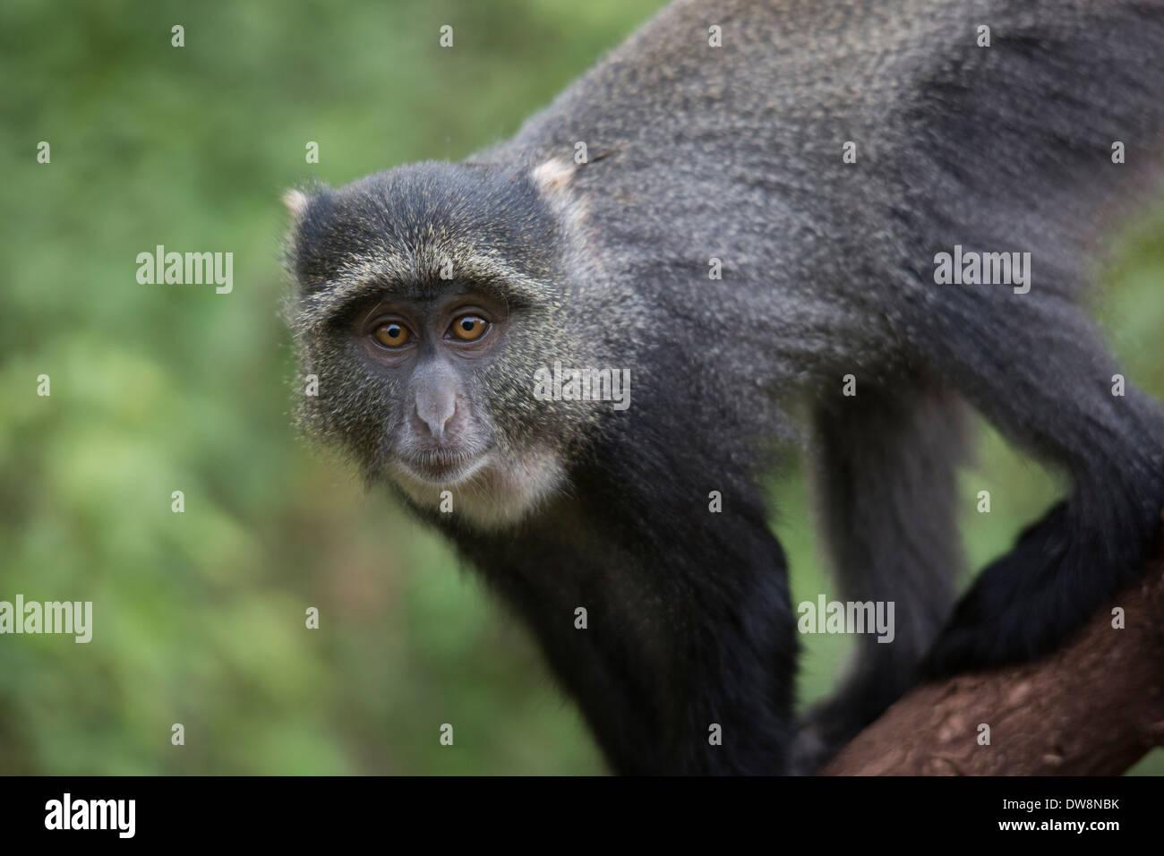 Wild monkey in Lake Manyara national park, Tanzania. - Stock Image