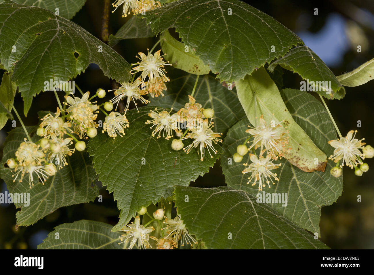 Large-leafed Lime (Tilia platyphyllos) close-up of flowers and leaves Central France June Stock Photo