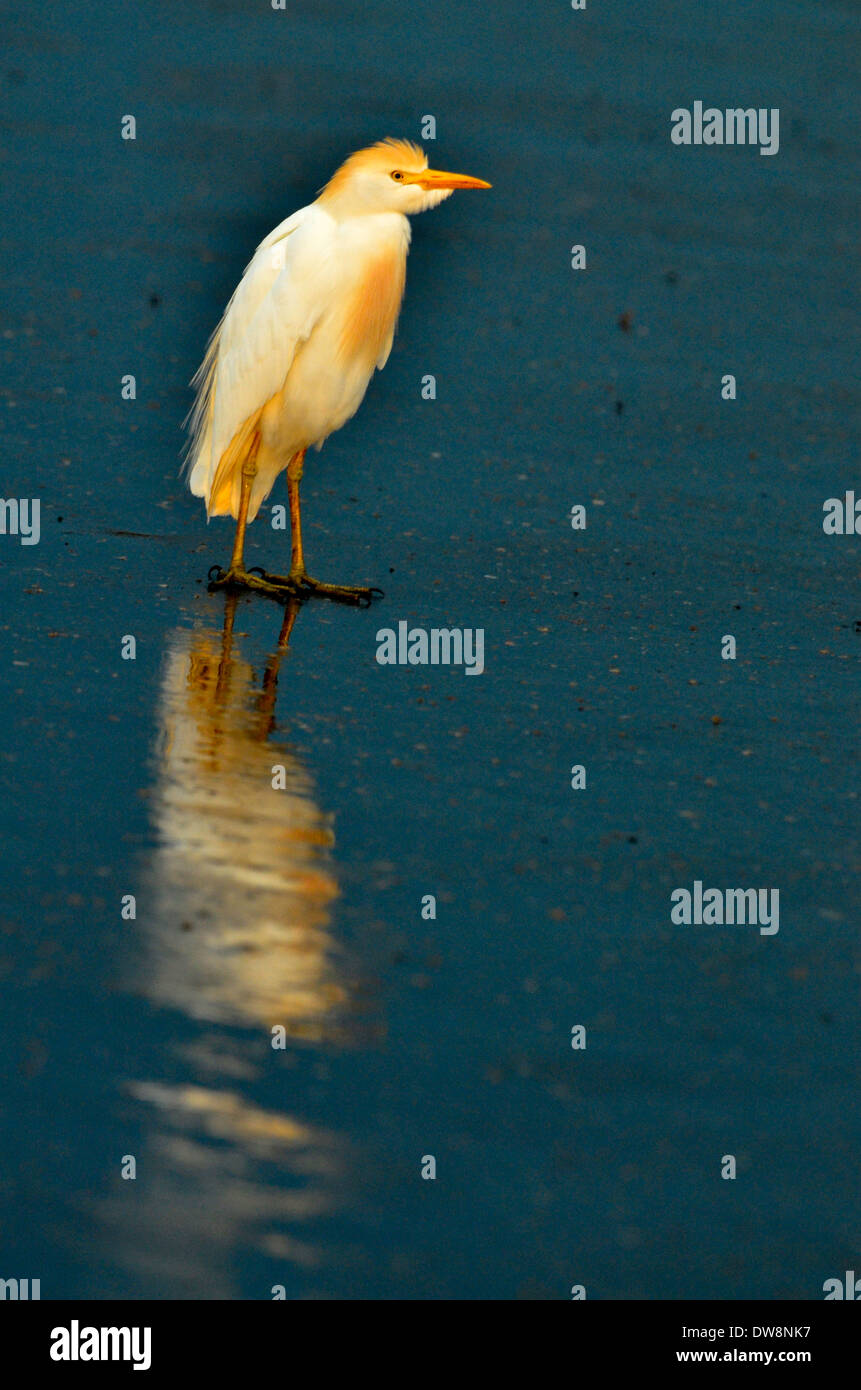 Bubulcus ibis or cattle egret in Kruger National Park, South Africa is a prime location for game viewing. - Stock Image