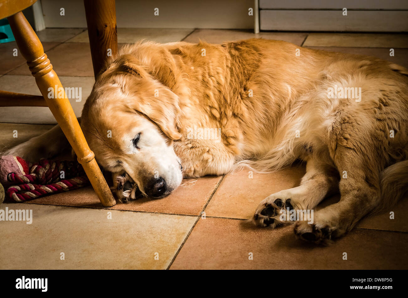 Golden retriever dog sleeping on kitchen floor in UK - Stock Image