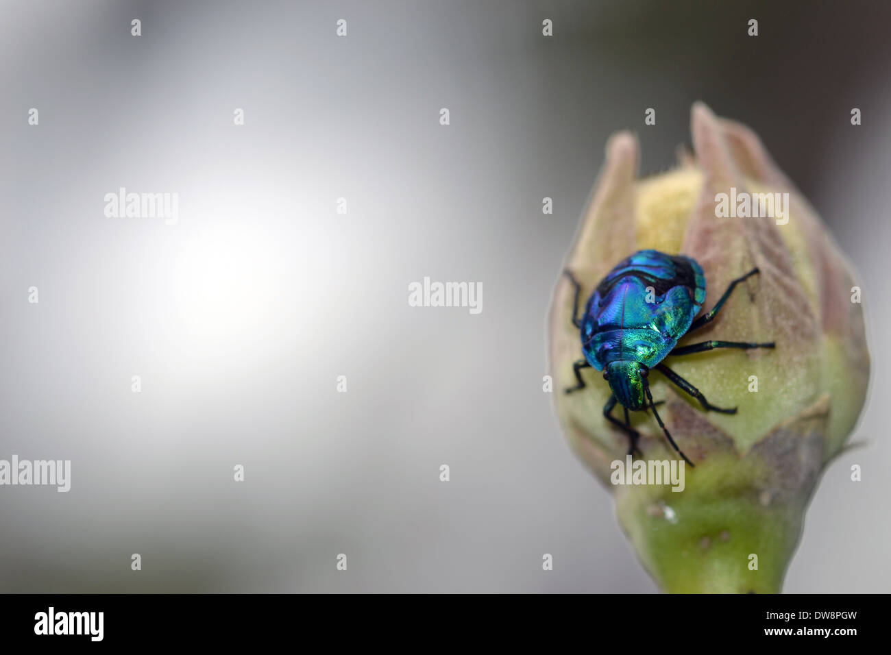 Blue insect Hemiptera, Zicrona cerulea, in a flower bud, Poindimie, New Caledonia, South Pacific - Stock Image