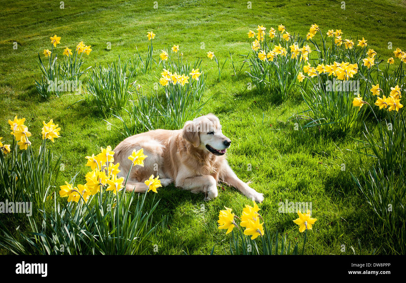 English garden with daffodils and relaxing dog - Stock Image