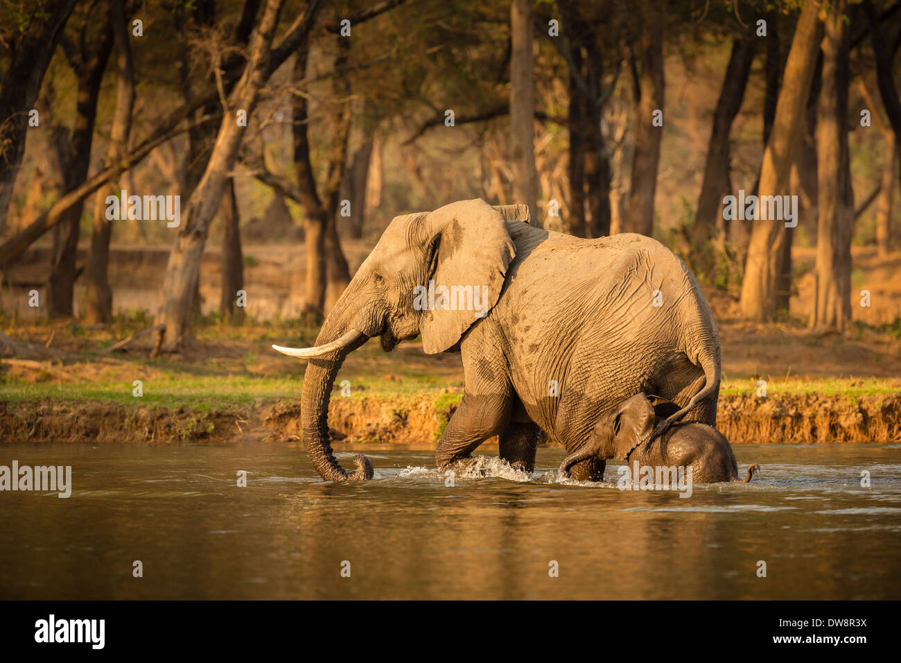 Zambia, Lower Zambezi National Park, African elephant (Loxodonta africana) mother and calf crossing the water. - Stock Image