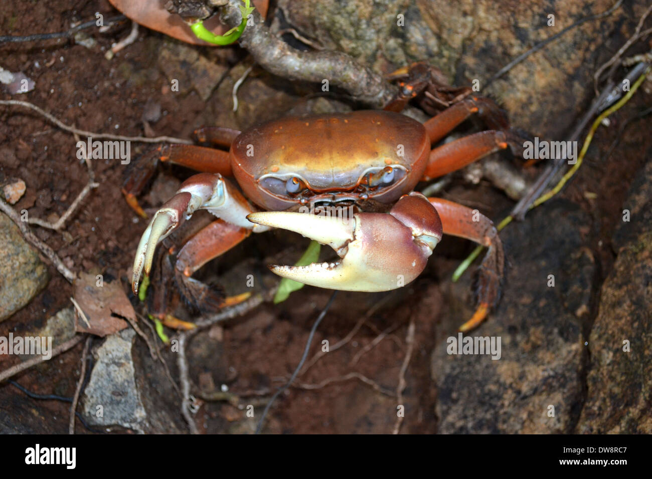Land crab, Cardisoma sp., Wallis Island, Wallis and Futuna, South Pacific - Stock Image