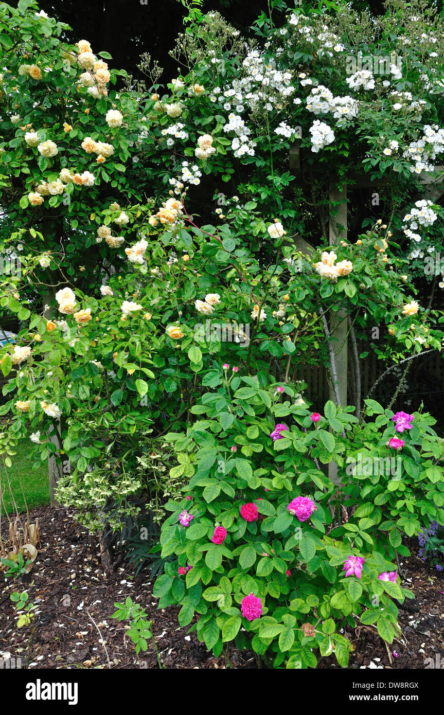 Rambling Rector rose growing up a pergola UK - Stock Image