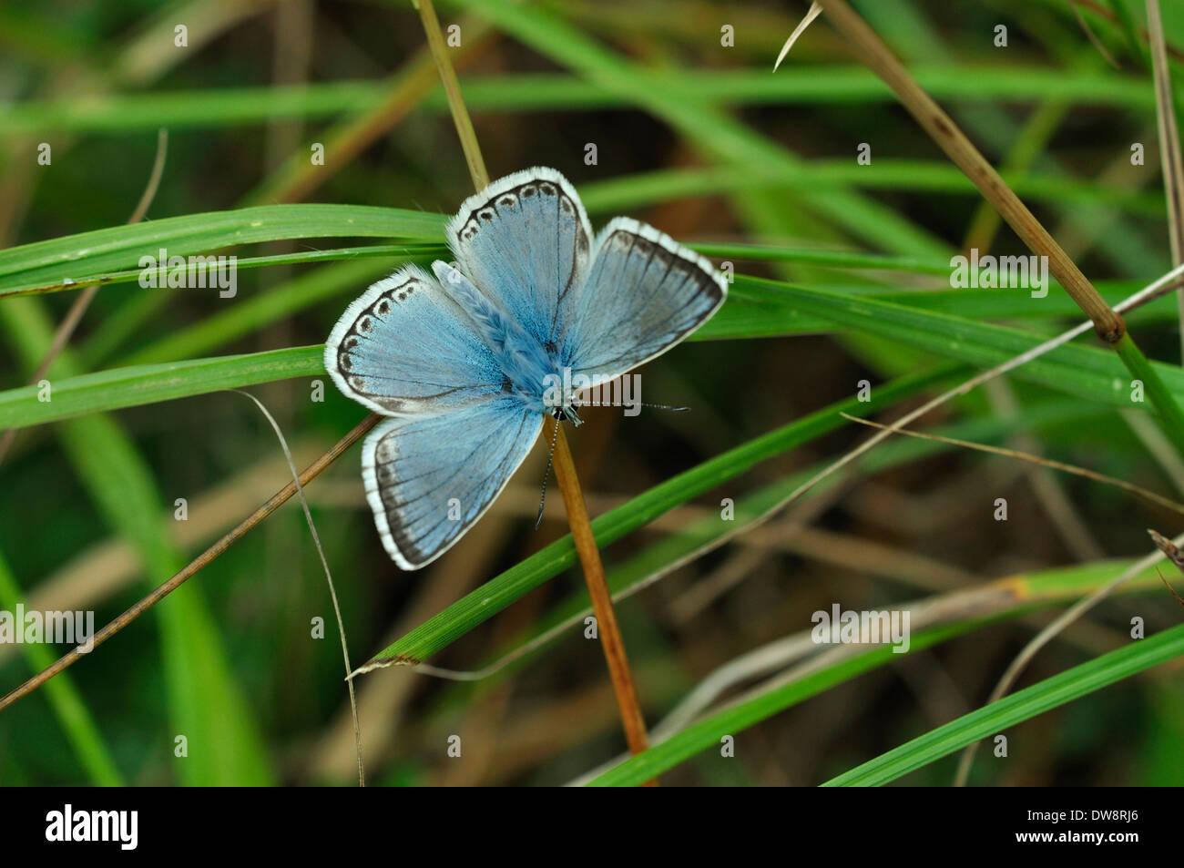 chalkhill blue lysandra coridon Lycaenidae butterfly insect invertebrate - Stock Image