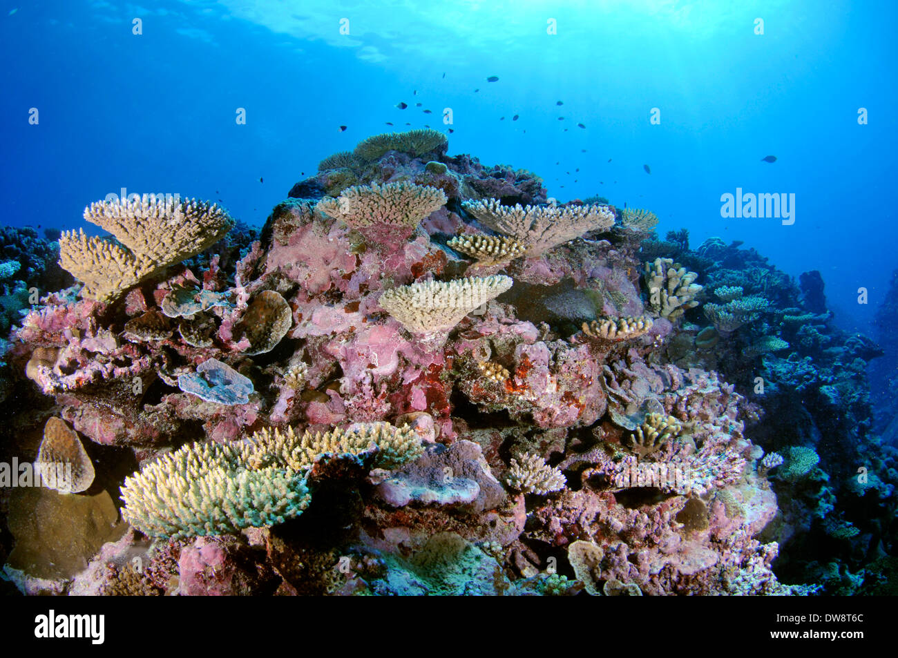 Highly diverse coral reef, Fugavea Pass, Uvea Island, Wallis and Futuna, South Pacific - Stock Image