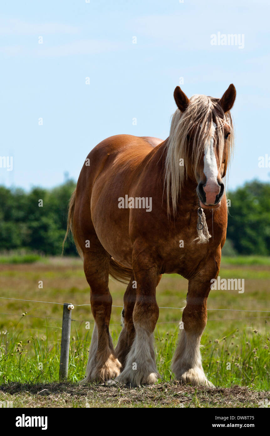 Brown And White Shire Horse Standing In Sunshine On Green Grass Stock Photo Alamy