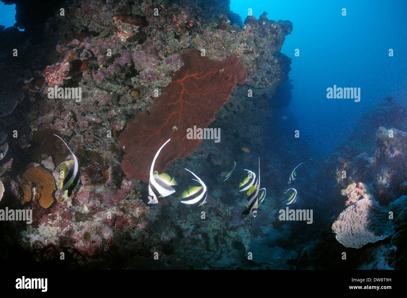 Longfin bannerfish, Heniochus acuminatus, swim around a diverse coral reef, Fugavea Pass, Wallis Island, Wallis and Futuna - Stock Image