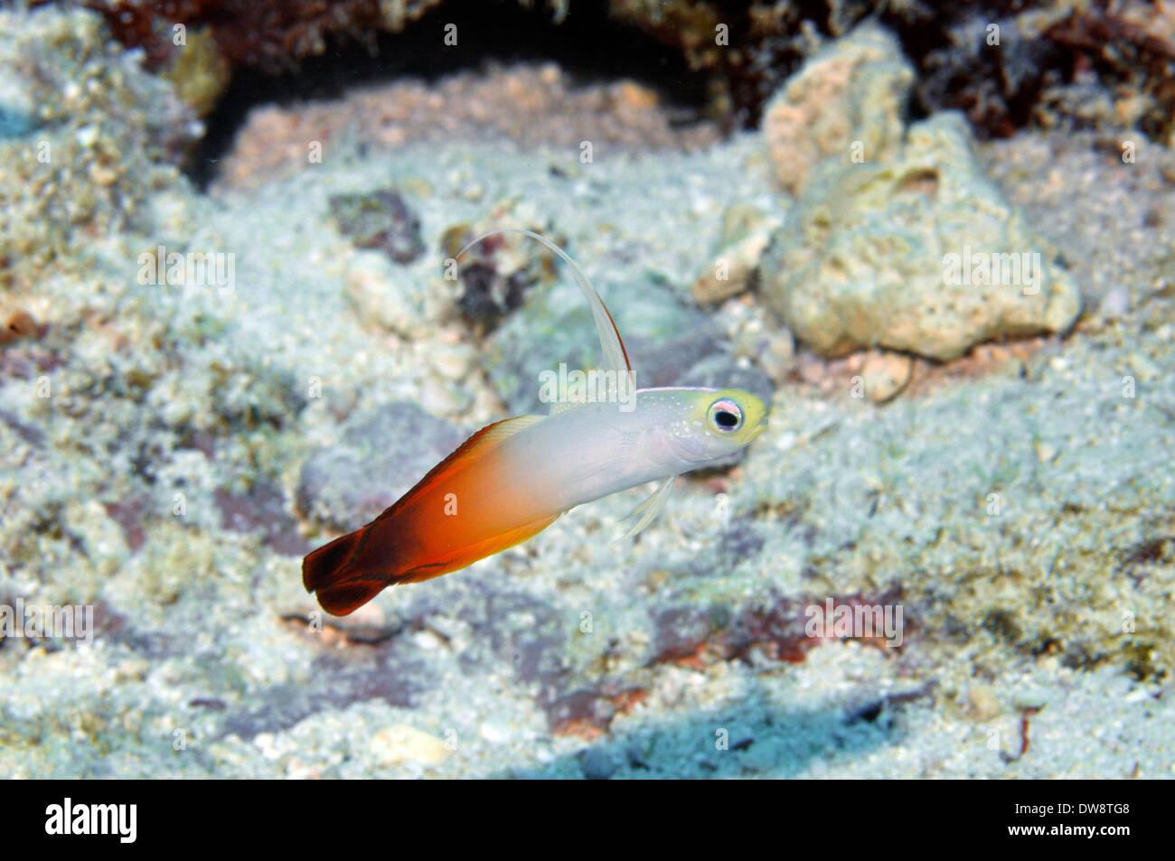Fire dartfish, Nemateleotris magnifica, Avatolu dive site, Wallis Island, Wallis and Futuna, South Pacific - Stock Image