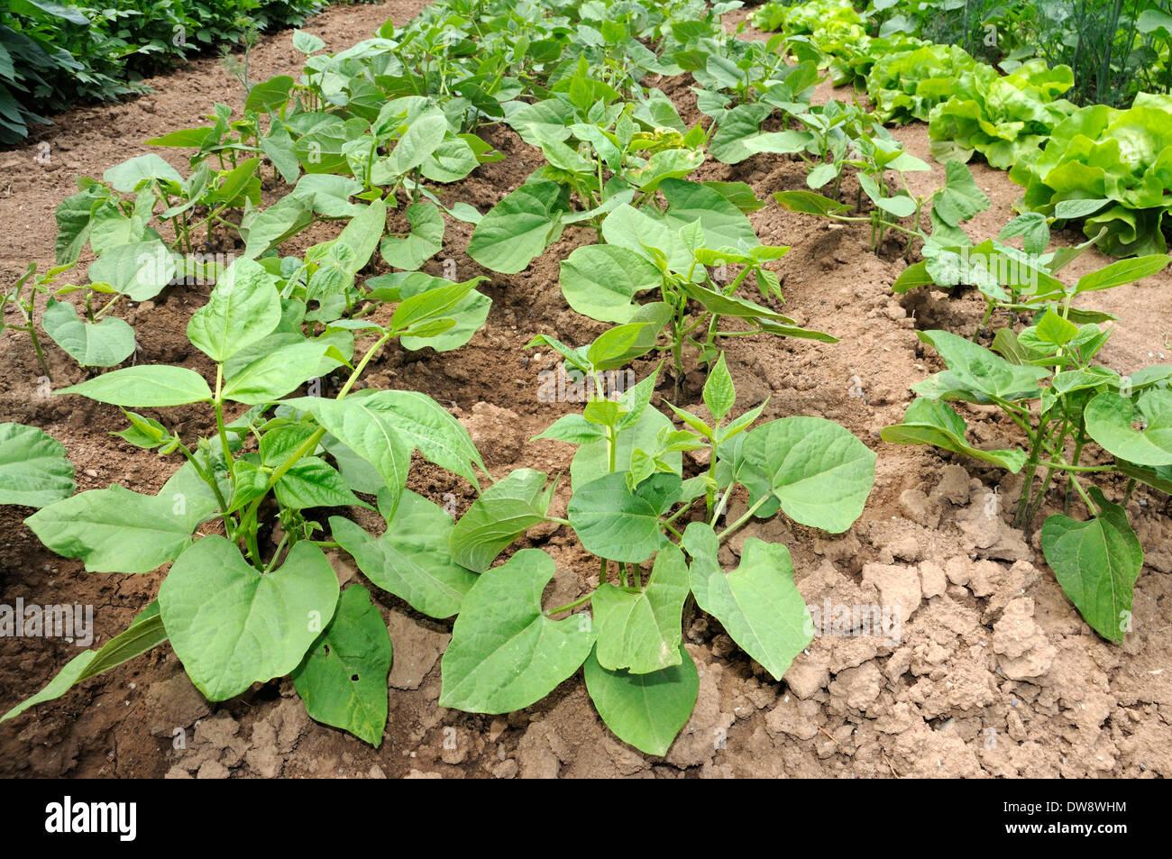Bush Bean - Stock Image
