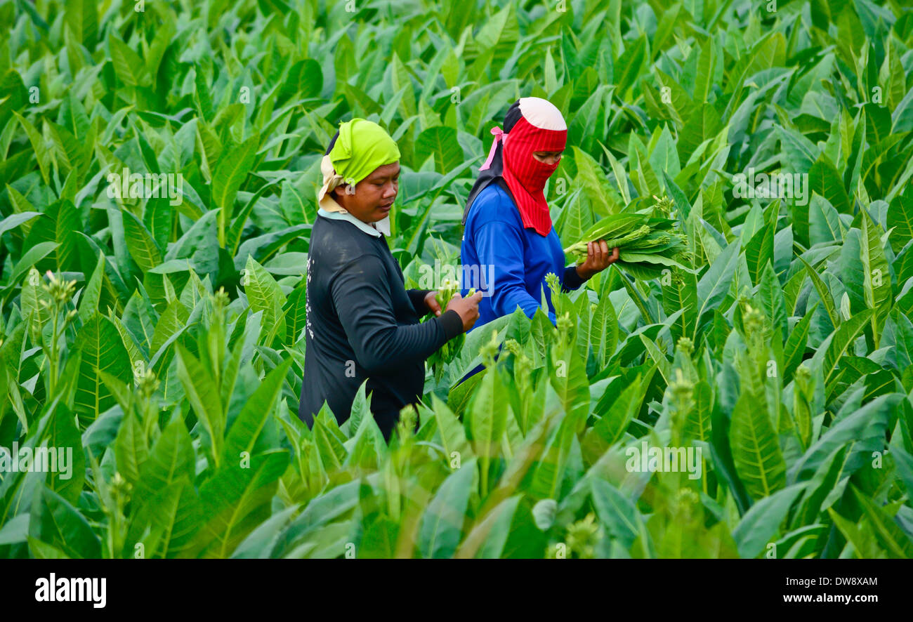 workers havest tobacco leaves in thailand - Stock Image