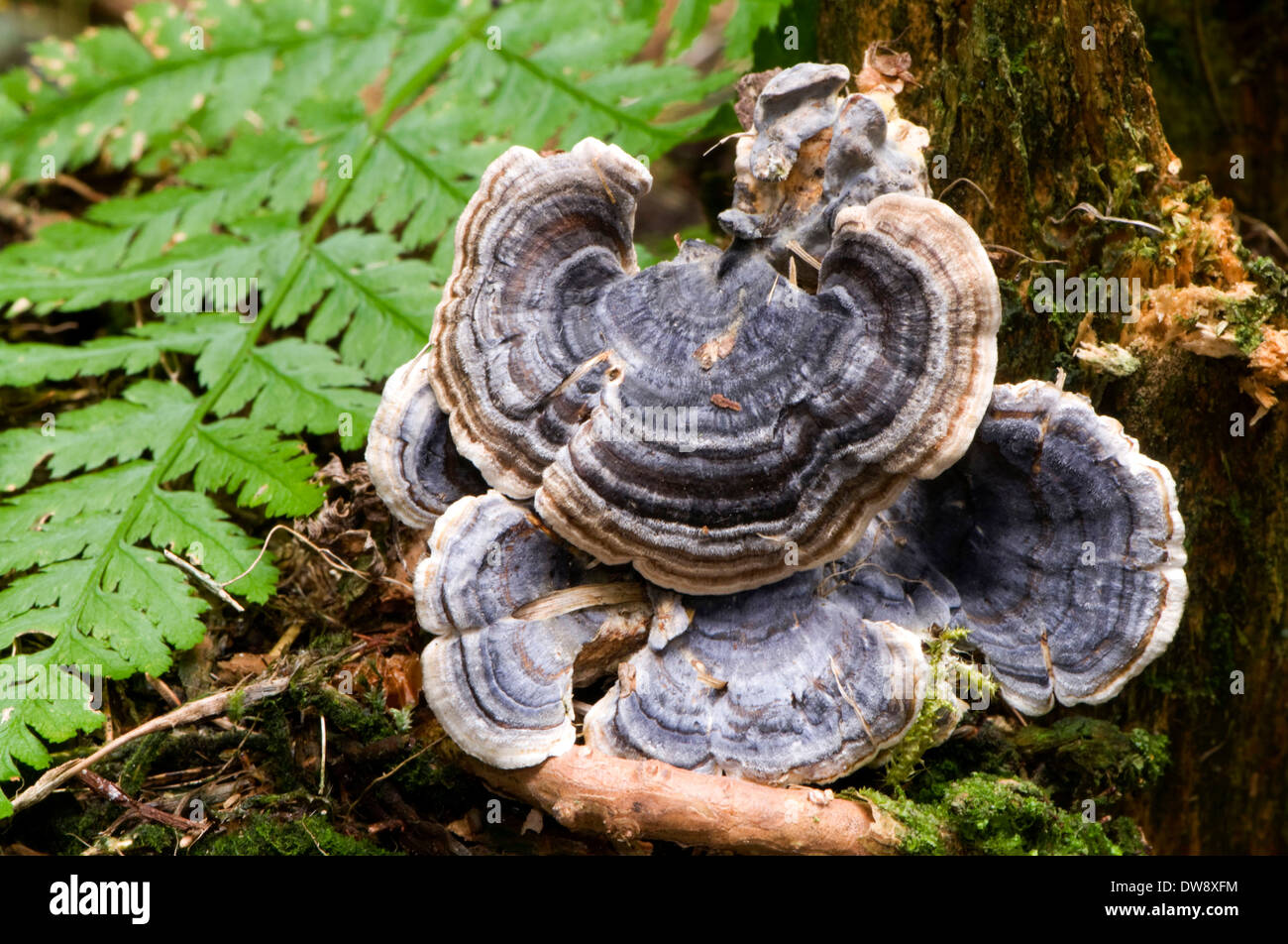 Many-zoned Polypore - Stock Image