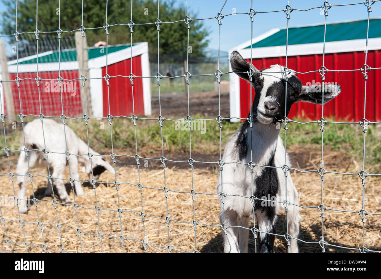 Black and white goat looking through a fence in goat pen Stock Photo