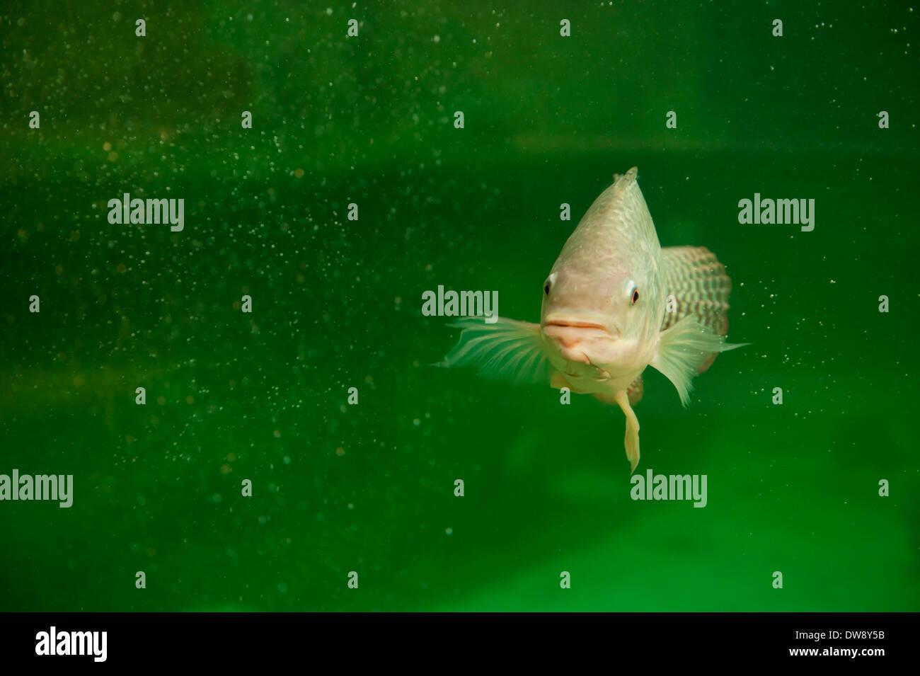 Single tilapia fish swimming towards the camera - Stock Image
