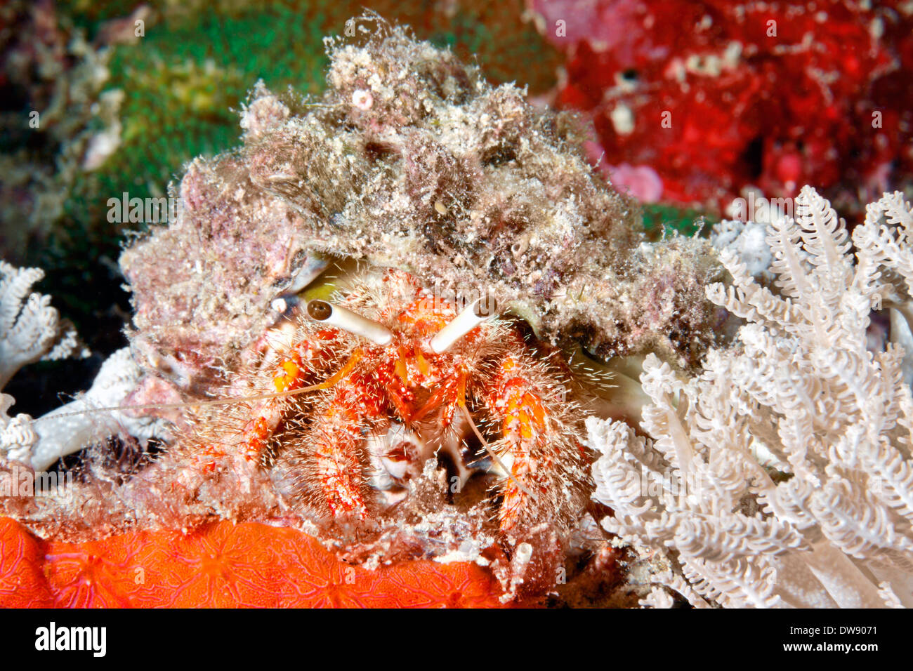 Marine hairy red hermit crab, Dardanus lagopdes, walking among corals on the reef. - Stock Image
