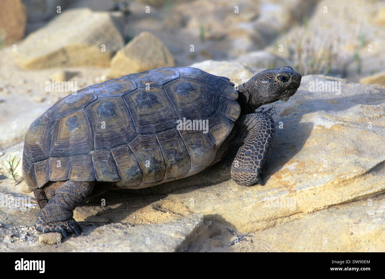 Elk248-2929 California, Mojave National Preserve, Desert tortoise Stock Photo