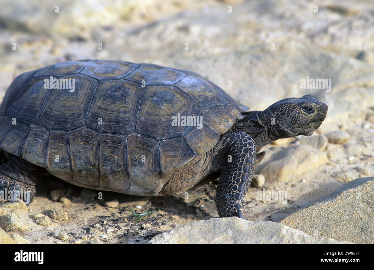 Elk248-2936 California, Mojave National Preserve, Desert tortoise Stock Photo