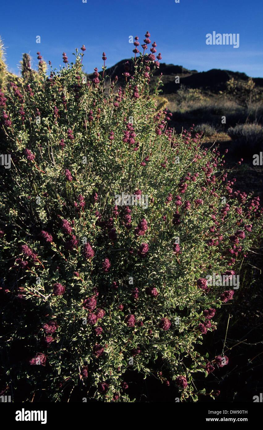 Elk248-2953v California, Mojave National Preserve, sage - Stock Image