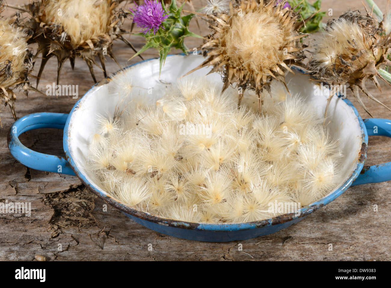 Milk Thistle - Stock Image