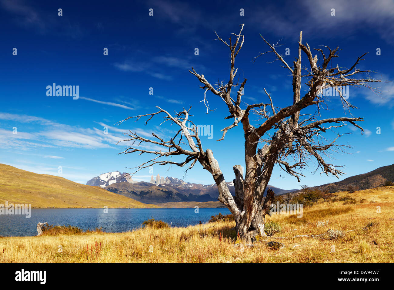 Dry tree in Torres del Paine National Park, Laguna Azul, Patagonia, Chile - Stock Image