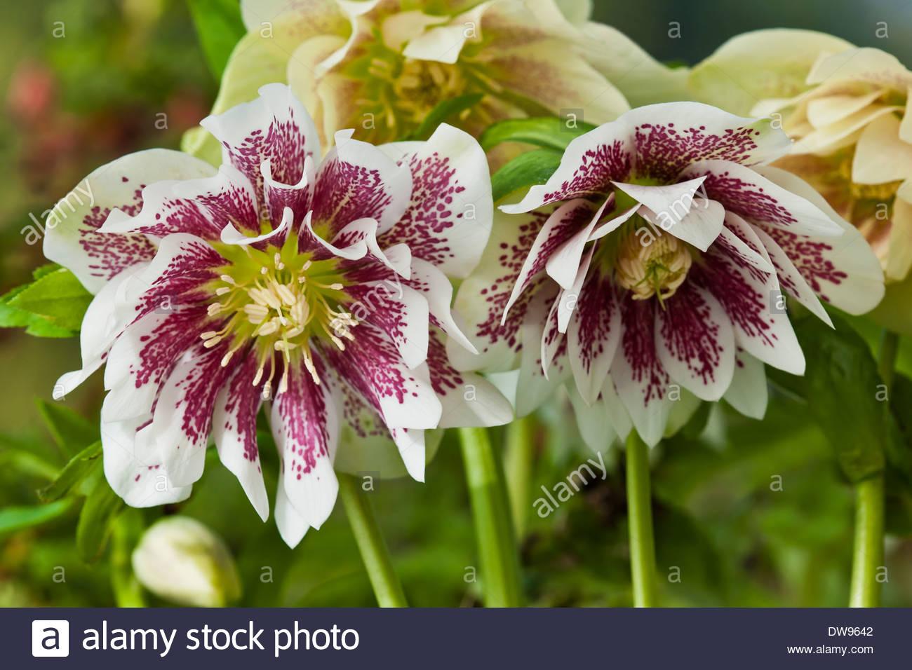 Helleborus X Hybridus Cinderella Hellebore Late Winter Flower Stock