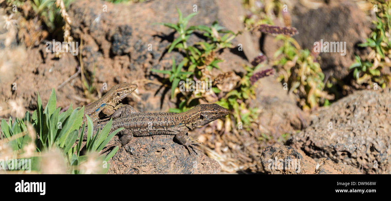 Two Canaries Lizards (Gallotia galloti) basking on a rock, endemic to the Canaries, Tenerife, Canary Islands, Spain - Stock Image