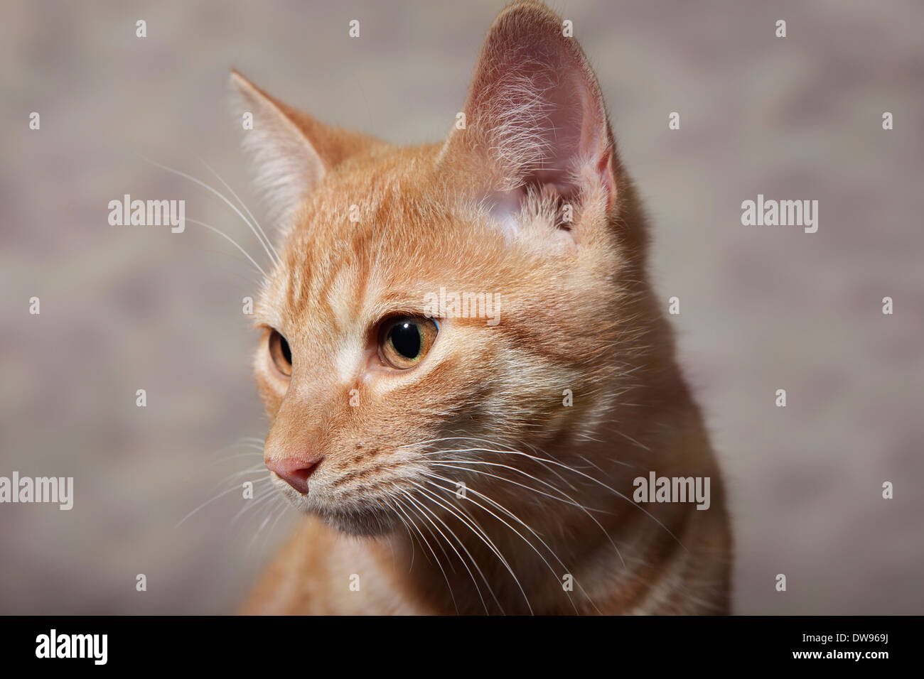 Red tabby domestic cat, circa 6 months, portrait - Stock Image
