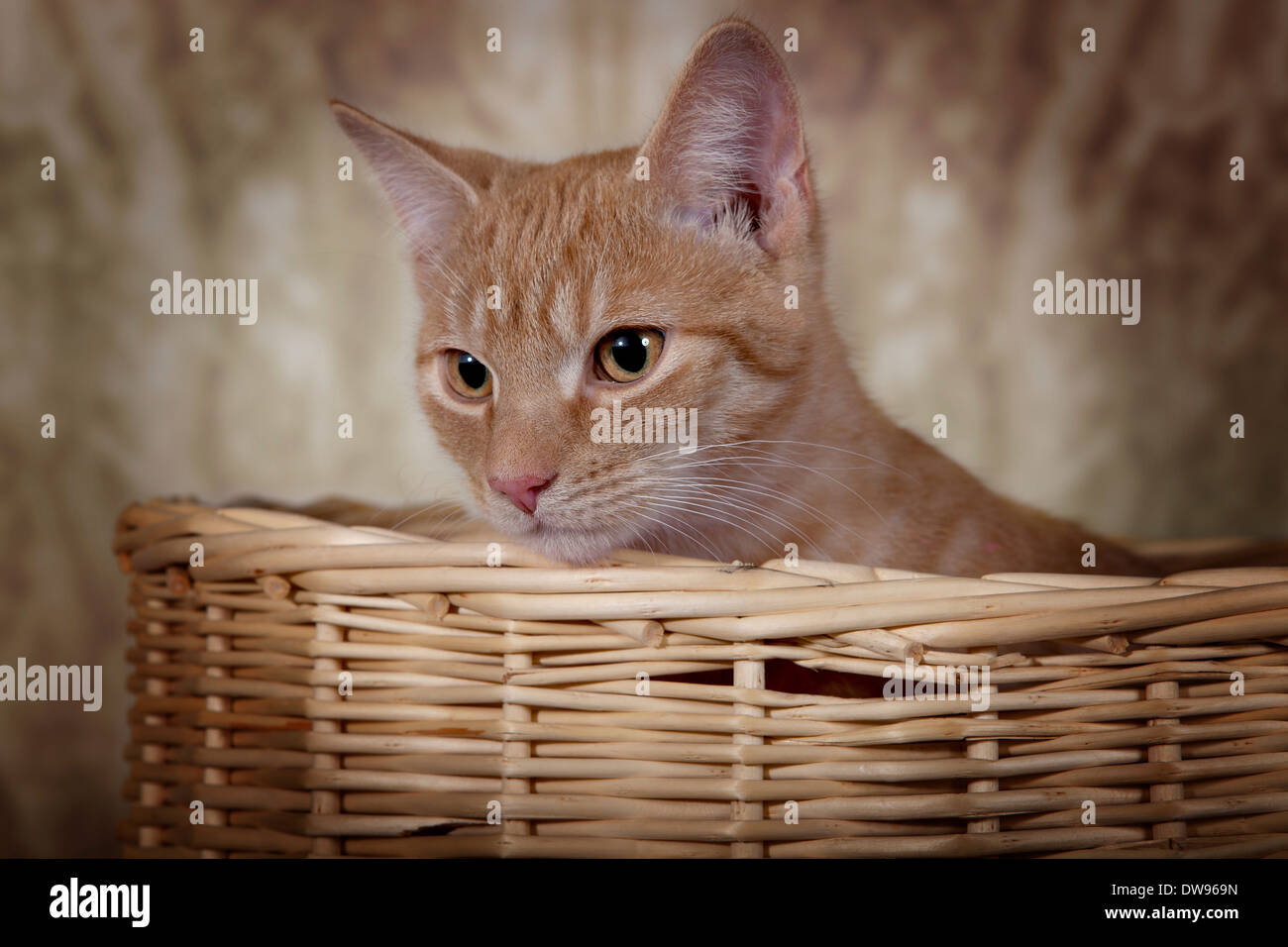 Red tabby domestic cat, circa 6 months, looking out of a basket - Stock Image