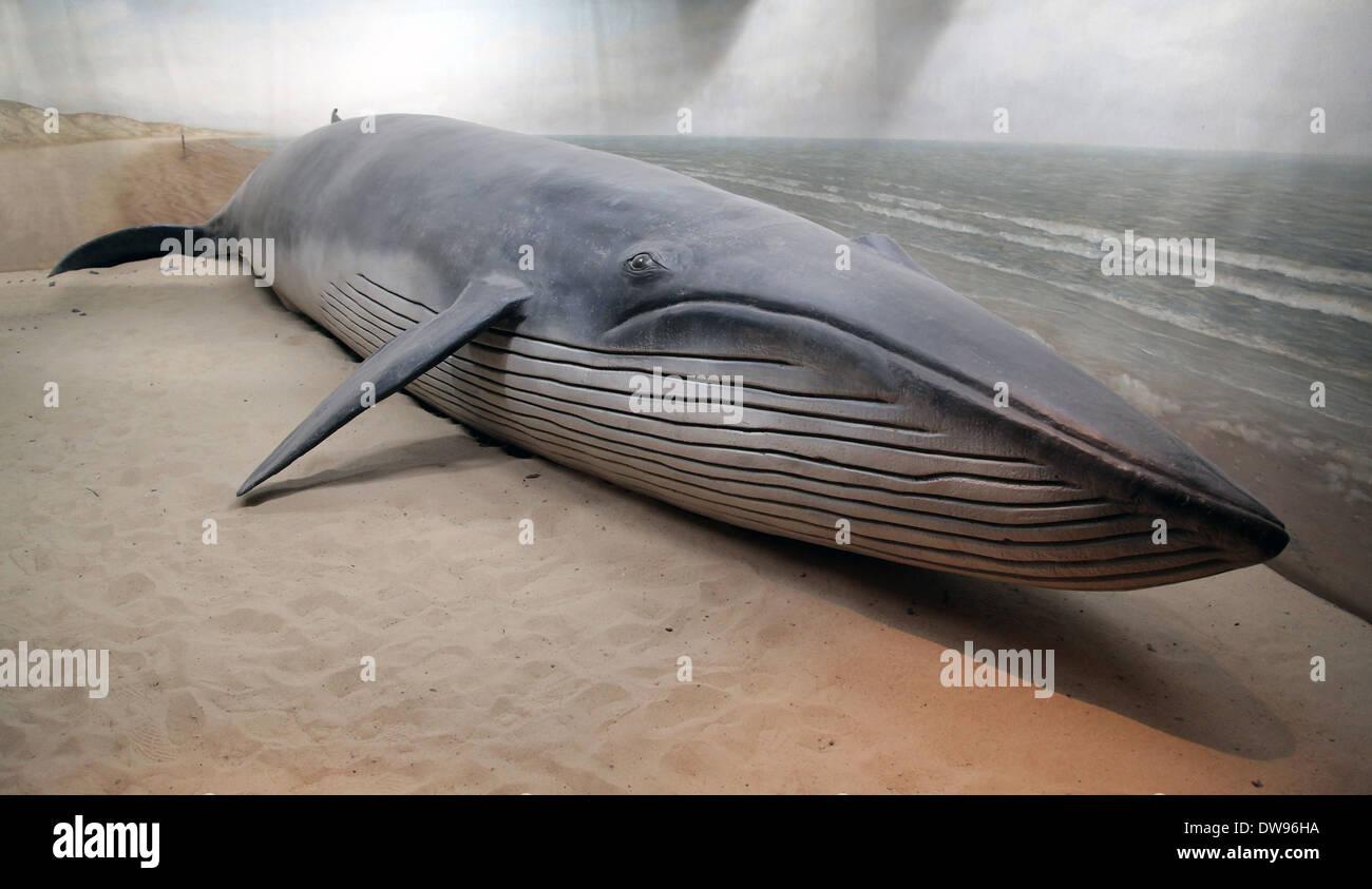 blue whale (Balaenoptera musculus) marine mammal - Stock Image