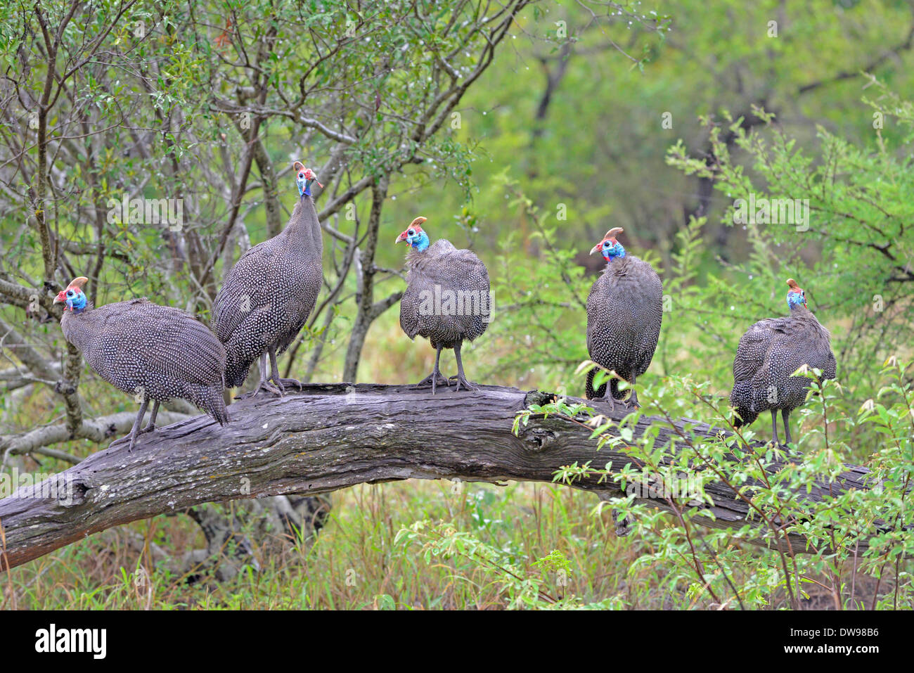 5 guinea fowl sitting on a log in the rain, Kruger park, South Africa - Stock Image