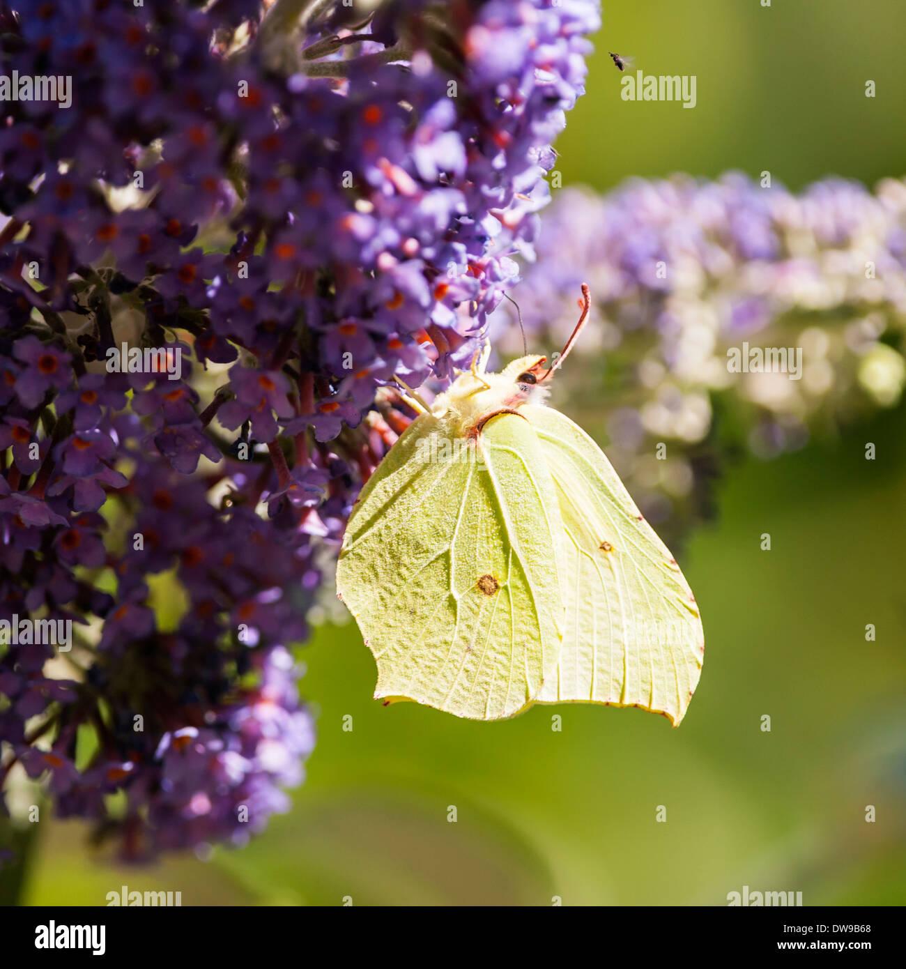A Brimstone ( Gonepteryx rhamni ) butterfly on Buddleia in the uk Stock Photo