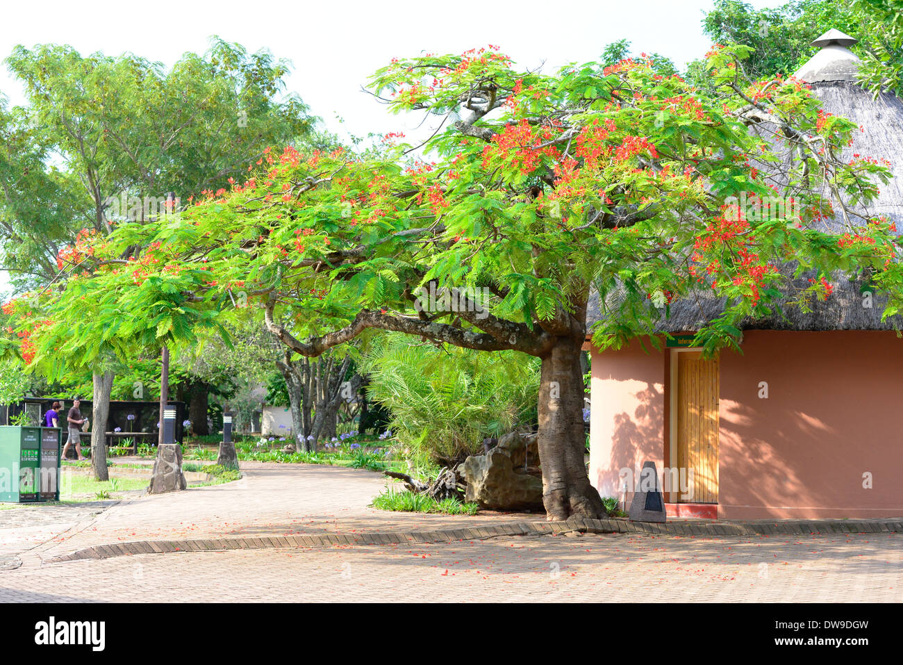 Red blossoms on green-leafed flamboyant tree with hut in Pretoriuskop camp, Kruger National Park, South Africa - Stock Image
