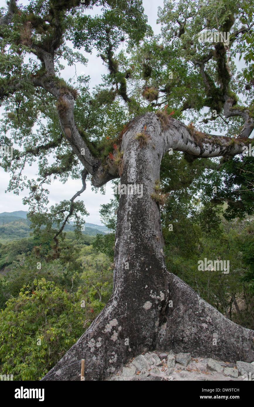 Tree at an archaeological site Copan Copan Ruinas Honduras - Stock Image