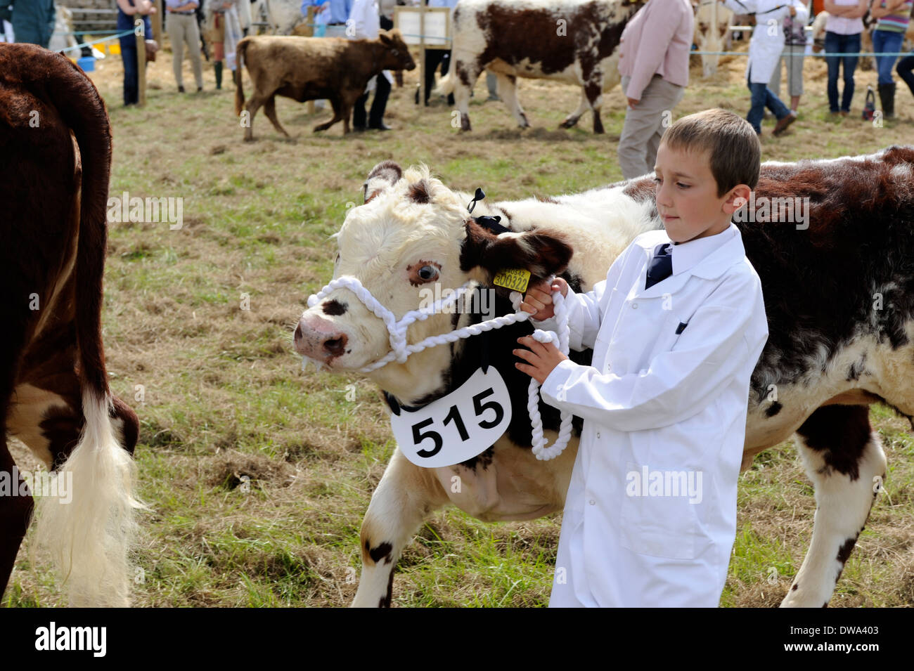 Young cattle handler sows prize hereford calf at  Melplash Agricultural Show,  Bridport Dorset - Stock Image