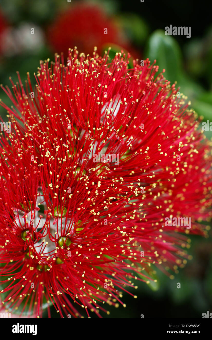 Flowers Of The Pohutukawa Metrosideros Excelsa A Native Tree Of