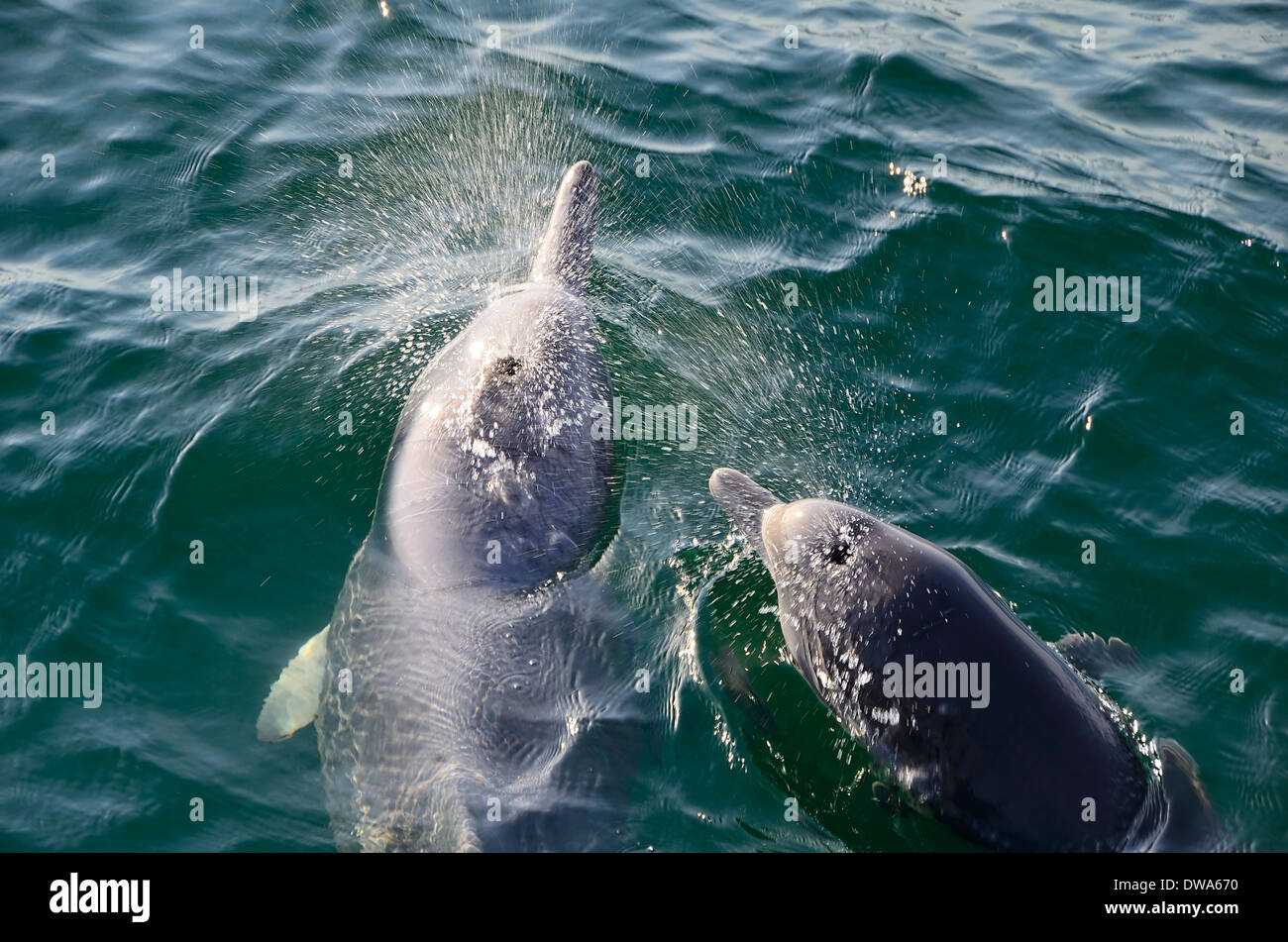 Sousa chinensis Chinese white dolphin, Pacific humpback dolphin or Indo-Pacific humpback dolphin - Stock Image