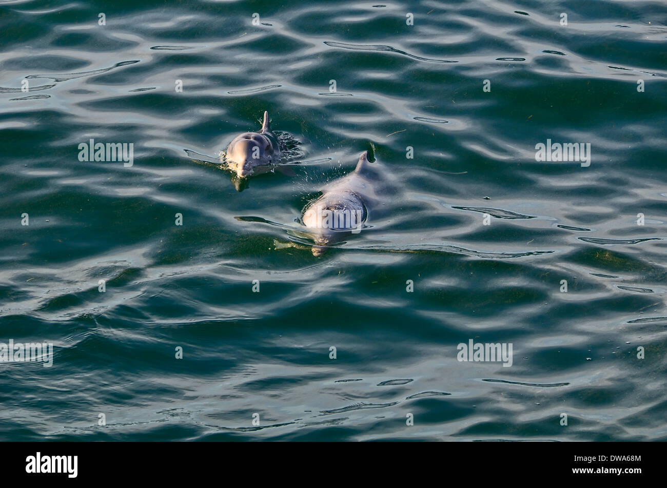 Sousa chinensis Chinese white dolphin, Pacific humpback dolphin or Indo-Pacific humpback dolphin Stock Photo