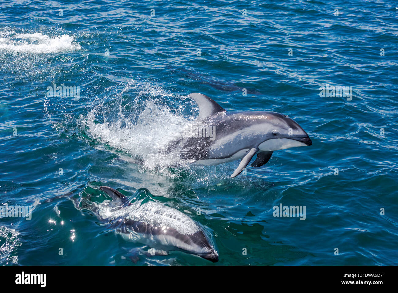 Pacific White Sided Dolphins jumping and swimming in the ocean. - Stock Image