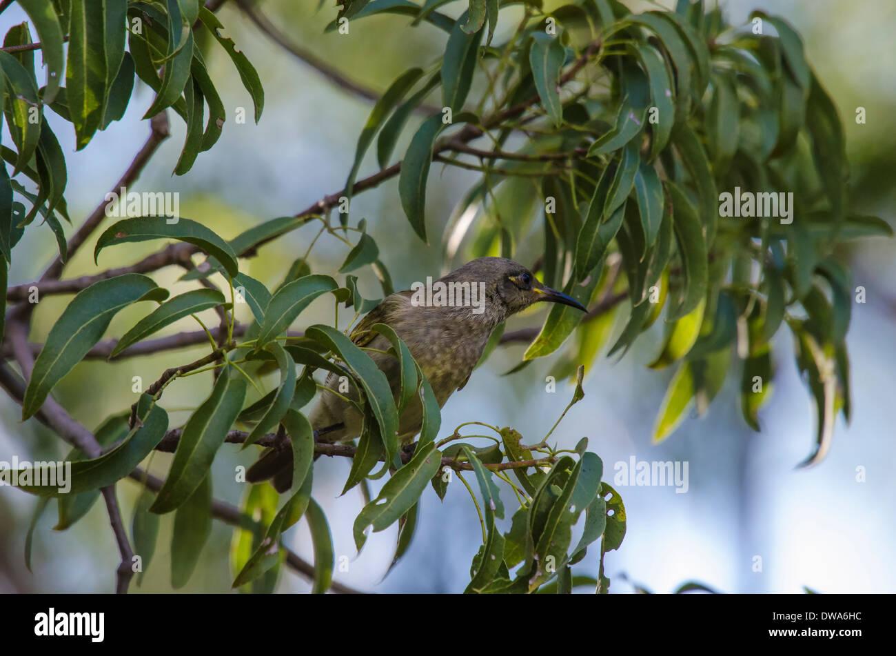 Brown Honeyeater Lichmera indistincta - Stock Image