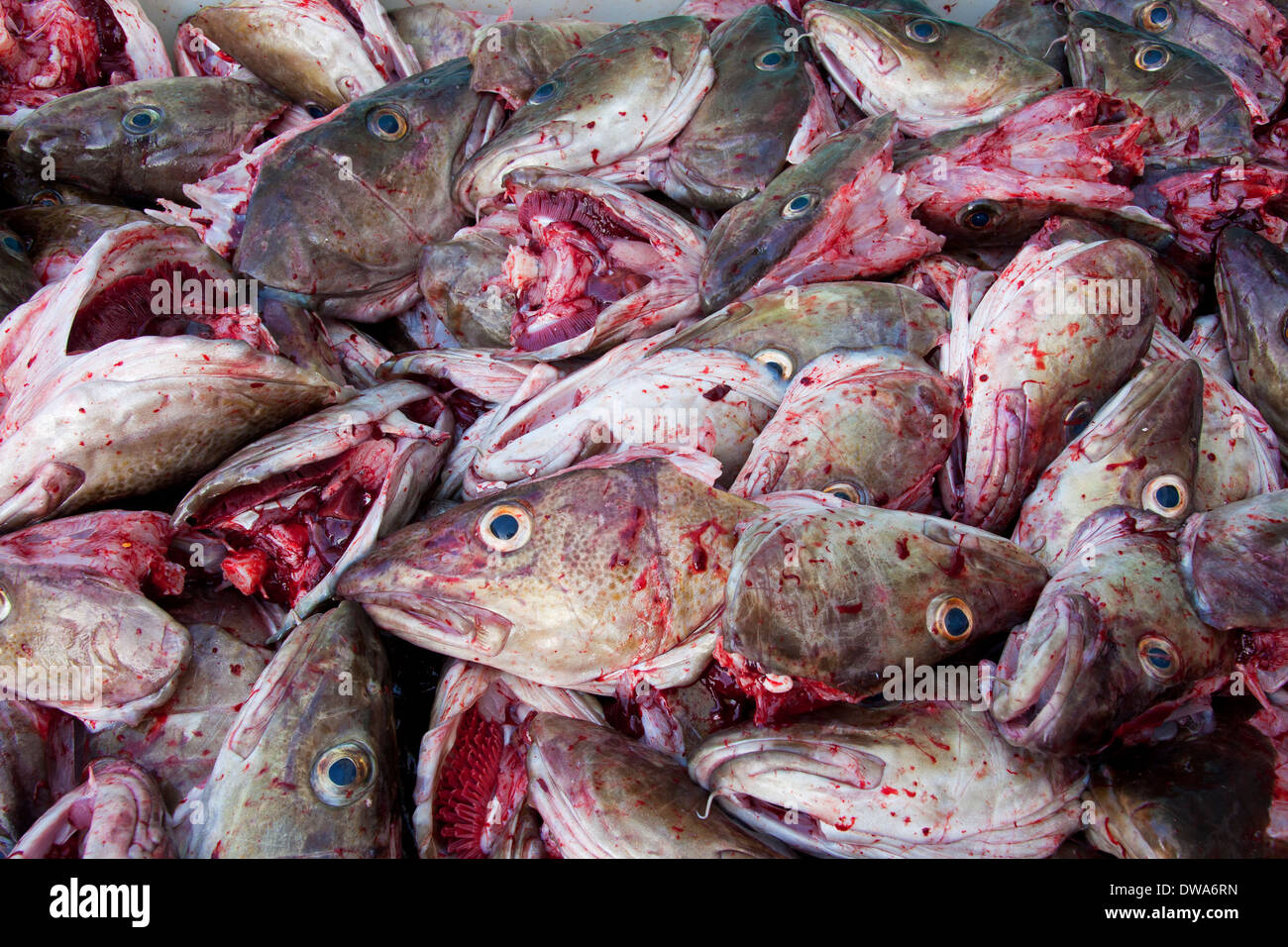 Close up of heap of Atlantic Cod (Gadus morhua) fish heads cut off for drying, Lofoten, Norway - Stock Image