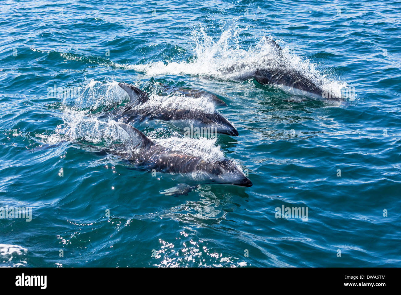 A family of pacific white sided dolphins protect a baby by keeping it in between them while playfully swimming alongside a boat. - Stock Image