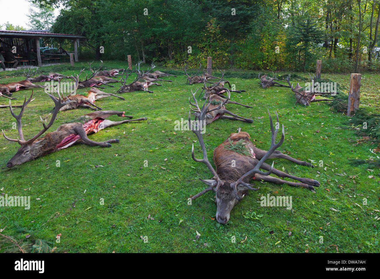 Harvested Red Deer (Cervus elaphus) stags shot and gutted by hunters after the hunt during the hunting season in autumn - Stock Image
